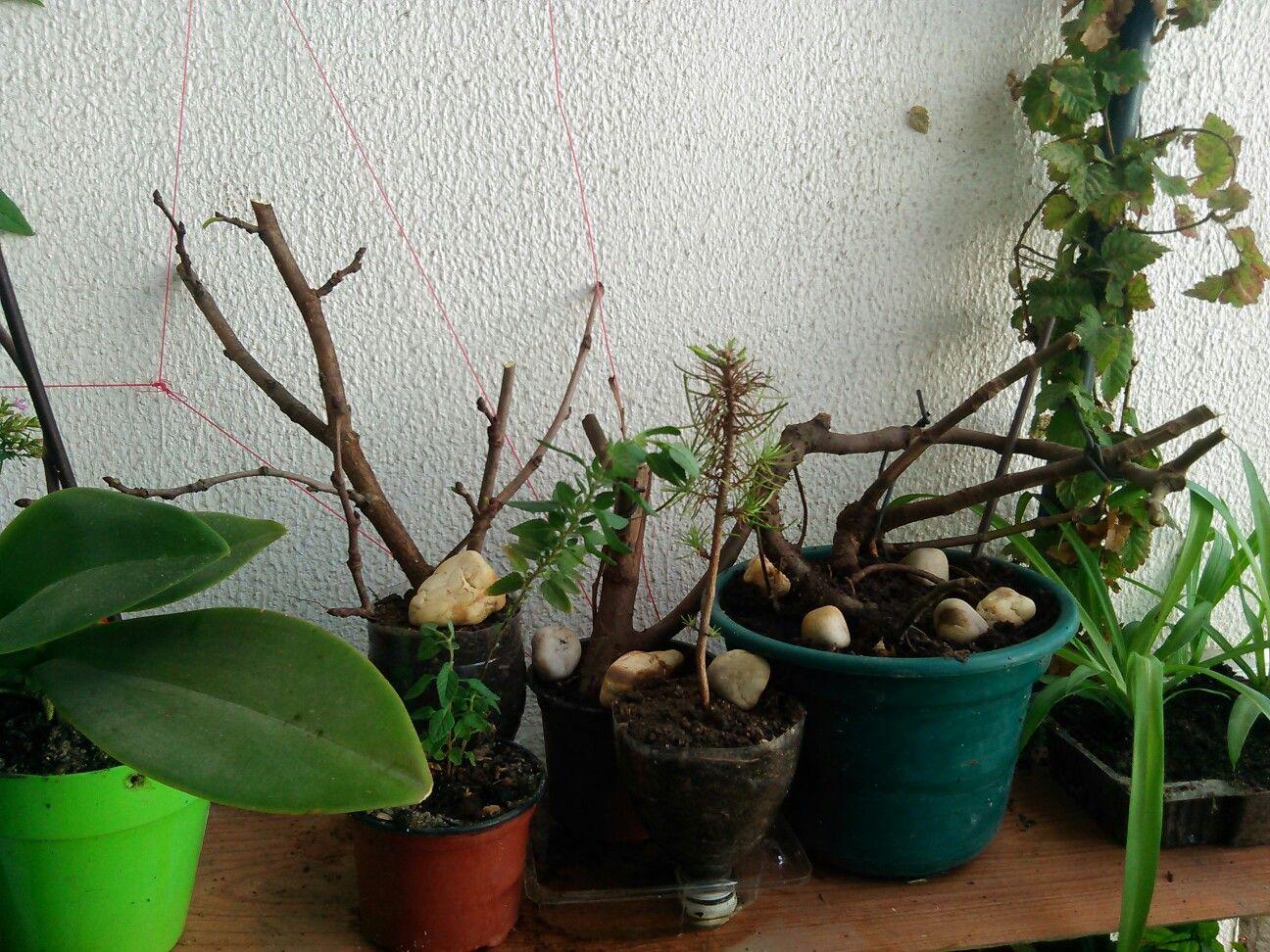 Iniciando no mundo dos bonsais