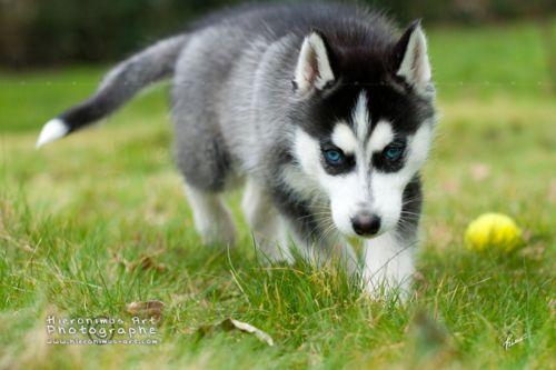 Imgs For Husky Dog Puppy Siberian Huskies Husky Dogs Husky Puppy