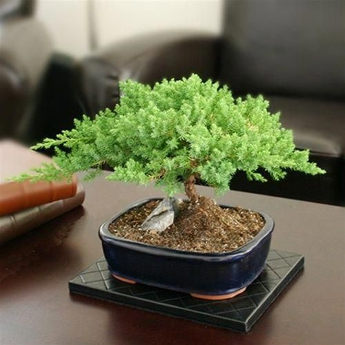 Bonsai - Medium Rock Juniper Bonsai Tree