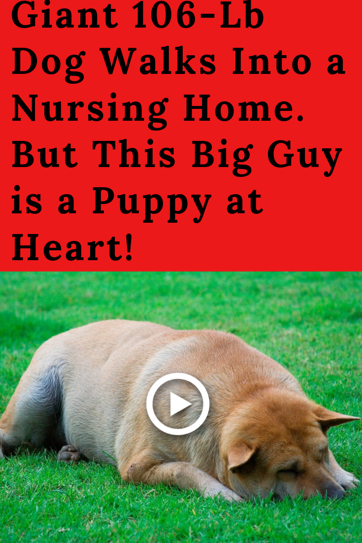 Giant 106 Lb Dog Walks Into A Nursing Home But This Big Guy Is A Puppy At Heart Dog Walking Dogs Big Dogs