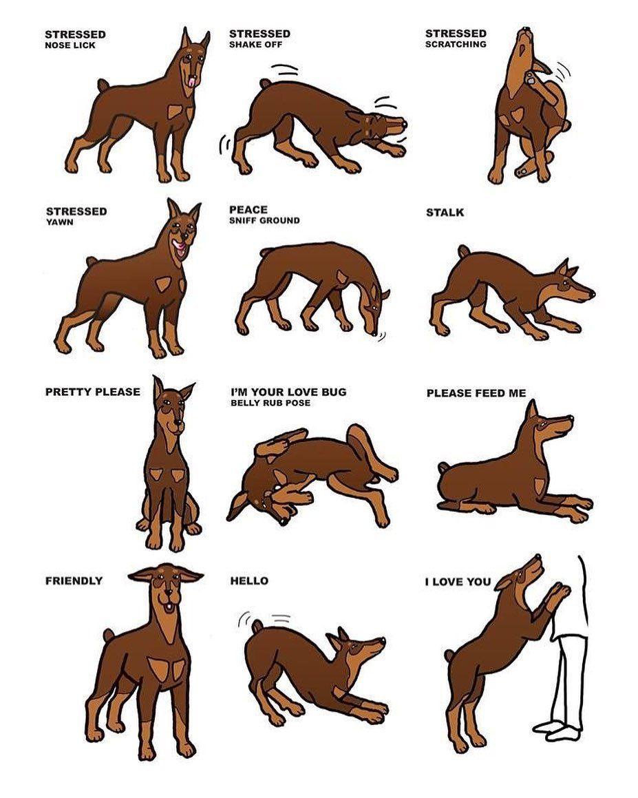 Pin By Pat Featherman On Dogs In 2020 Doberman Pinscher Dog Doberman Pinscher Doberman Dogs
