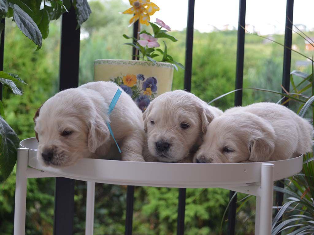 Golden Retriever Puppy For Sale Buy Golden Retriever Puppies Golden Retriever Puppy Golden Retriever Puppies