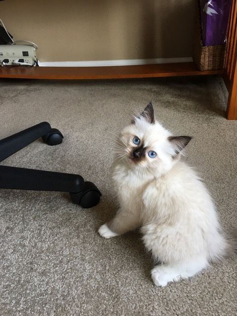 Hayden Ragdoll Kitten Of The Month Floppycats Ragdoll Kitten Cute Cat Names Ragdoll
