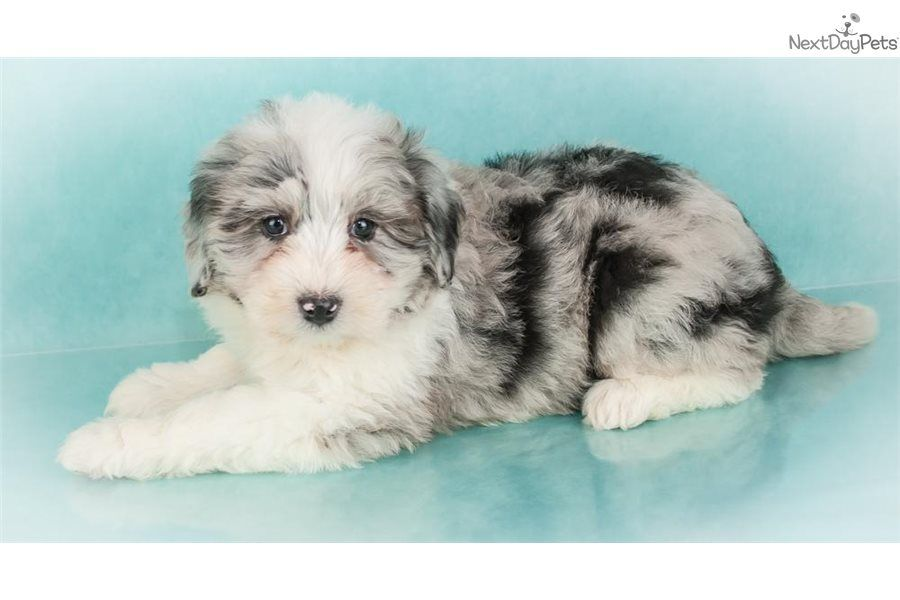 Marble Sheepadoodle Puppy For Sale Near Akron Canton Ohio 3495178e 2181 Sheepadoodle Puppy Sheepadoodle Puppies