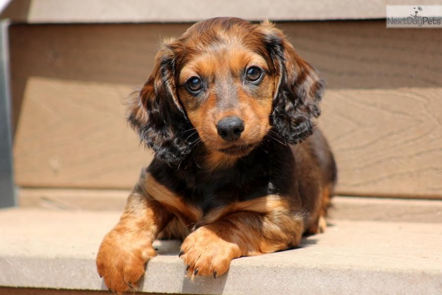 Miniature Dachshund Puppies Dachshund Mini Puppy For Sale