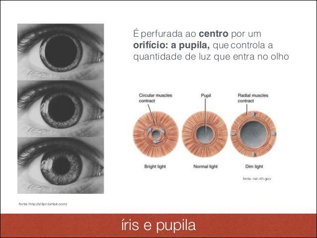 Anatomia e Fisiologia Ocular - Iris e Pupila | References - Anatomy ...