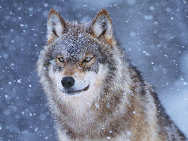 Wolf in a winter storm juniors superstock - Free funny animal screensavers ...