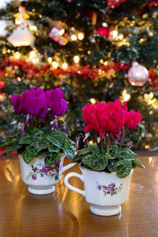 Super Serie Micro In Theekopjes Voor De Kerstboom Cyclamen