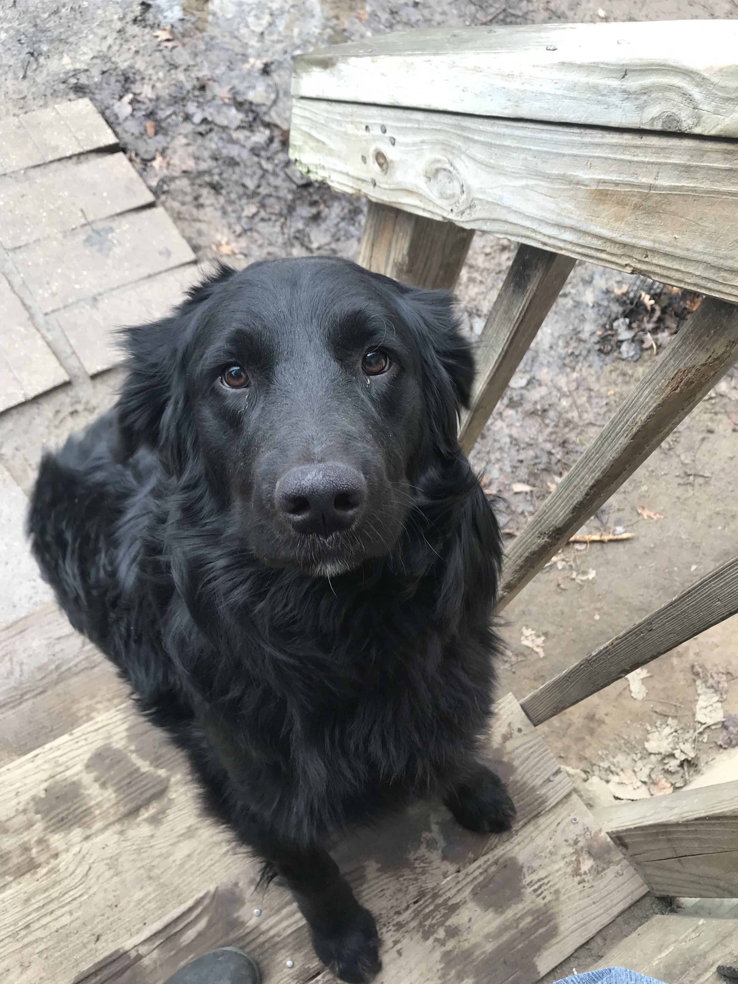 Adopt Landon On Petfinder Flat Coated Retriever Large Dog Breeds Retriever Puppy