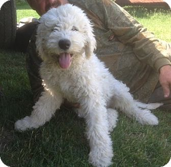 Aww Komondor Puppies So Cute And Up For Adoption In The