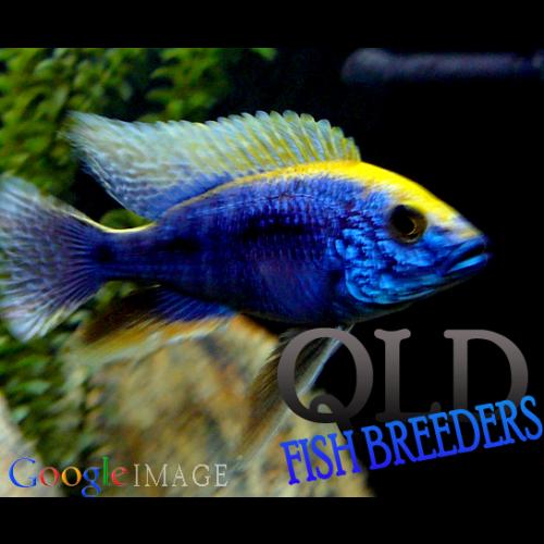 Sulphur Crest Peacock African Cichlid Fish Cichlids African Cichlids Fish Pet