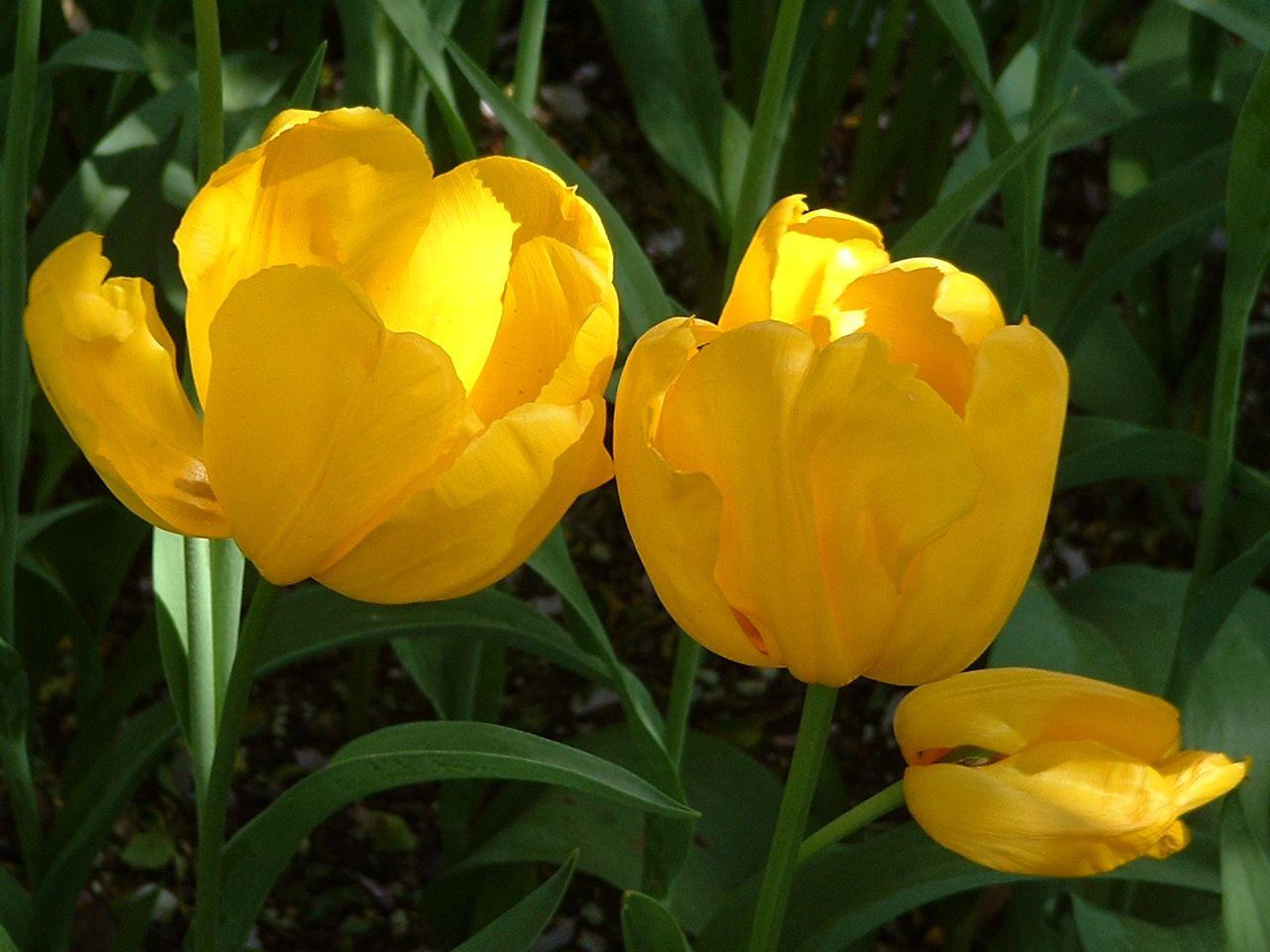 Tulips, Van Lierop Bulb Farm, Puyallup, WA.