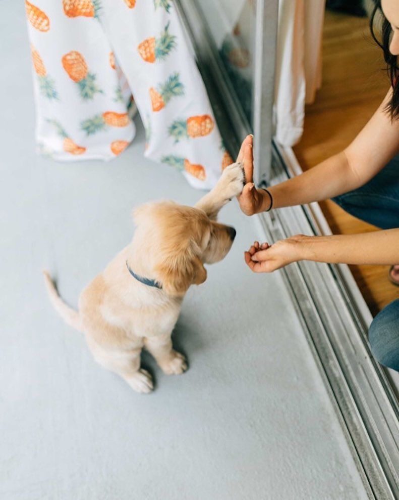 What S Cuter Than A Golden Retriever Puppy Giving You A High Five