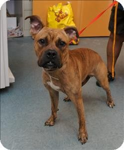 Richmond, VA Boxer Mix. Meet Caesar Romano, a dog for