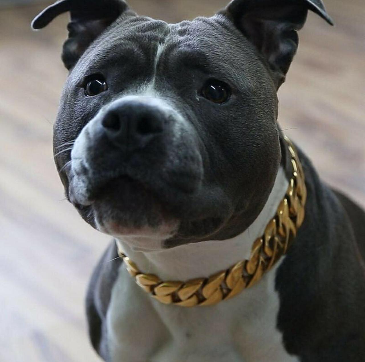 Http Gucci Flipflops Tumblr Com Post 163546298604 Big Dog Collars Pitbulls Pitbull Dog