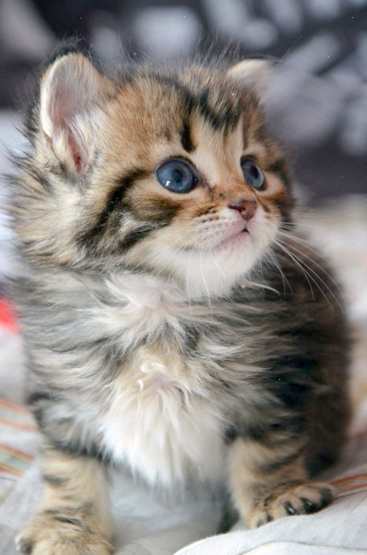 Beautiful Blue Eyes Cose Da Comprare Gatti Gatti Carini E Animali