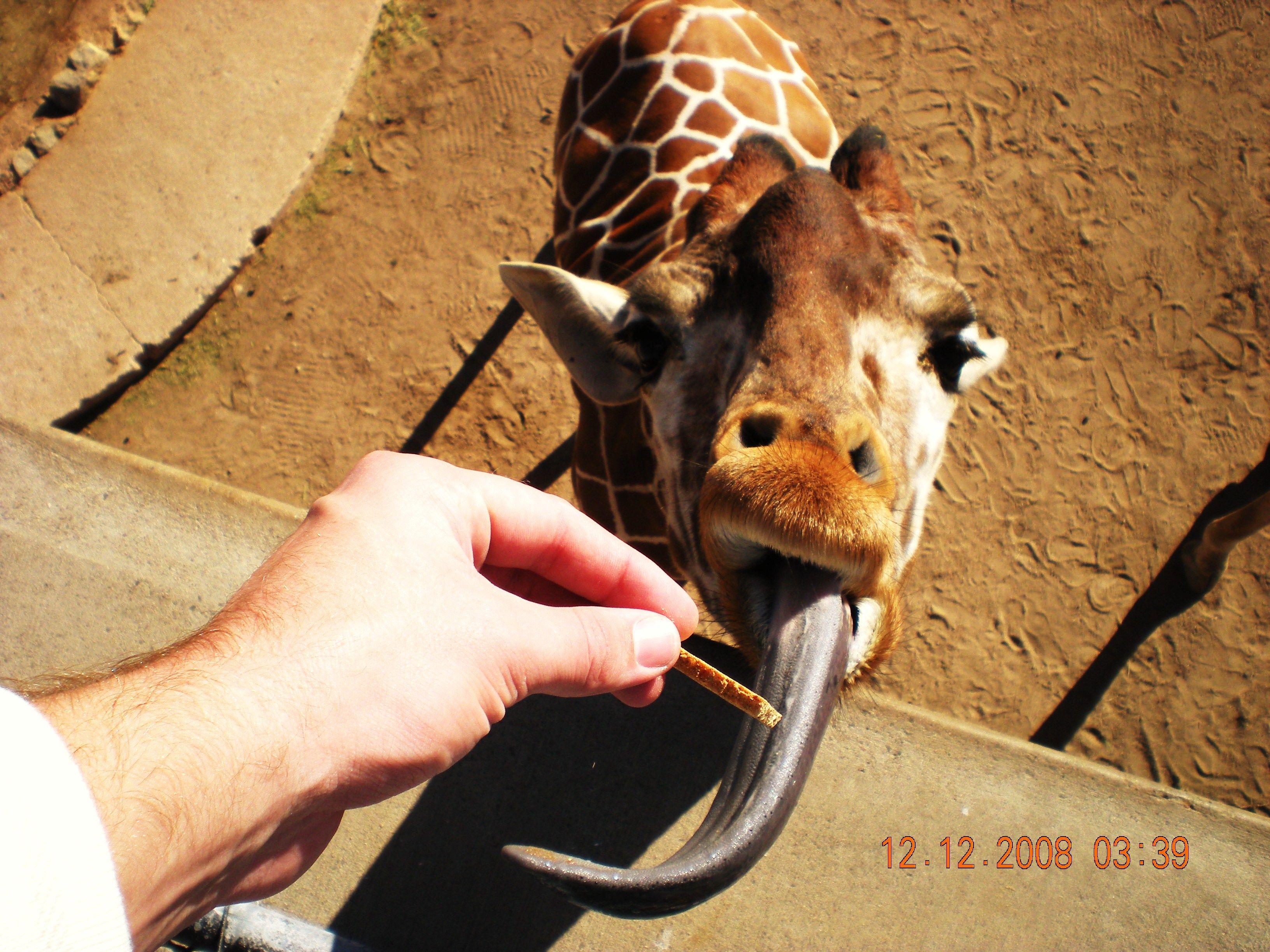 Abilene Tx Zoo Giraffe Abilene Zoo