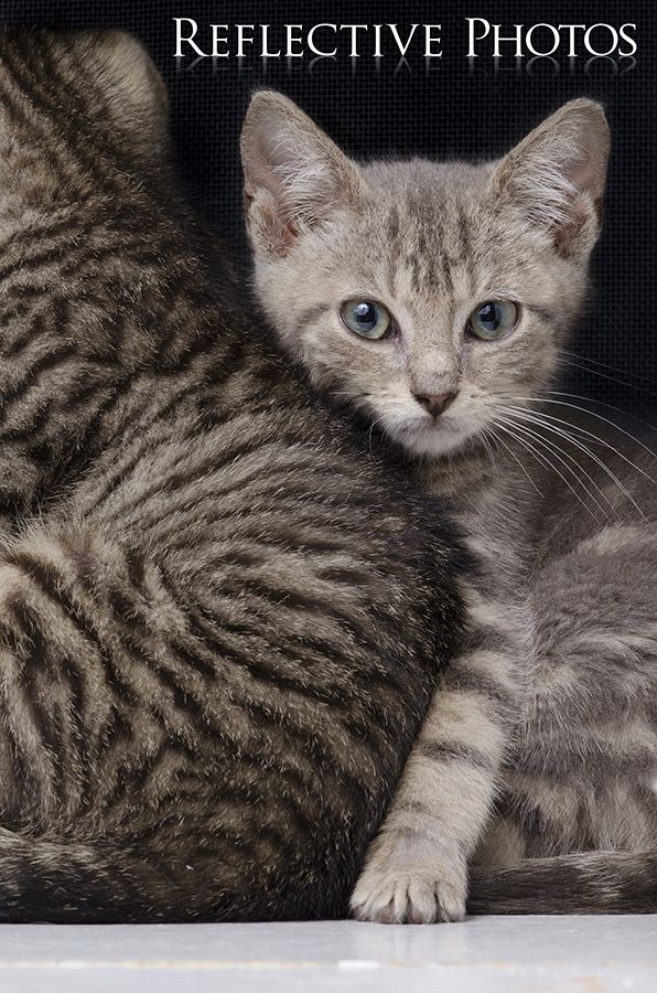 Shy Guy Gizmo Portrait of a Kitten He was my foster kitten