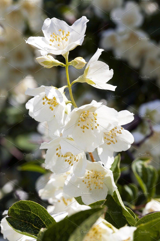 jasmine flowers by rsooll on creativemarket Jasmine
