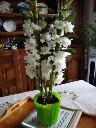 orchid e star class dendrobium la guillaumette. Black Bedroom Furniture Sets. Home Design Ideas