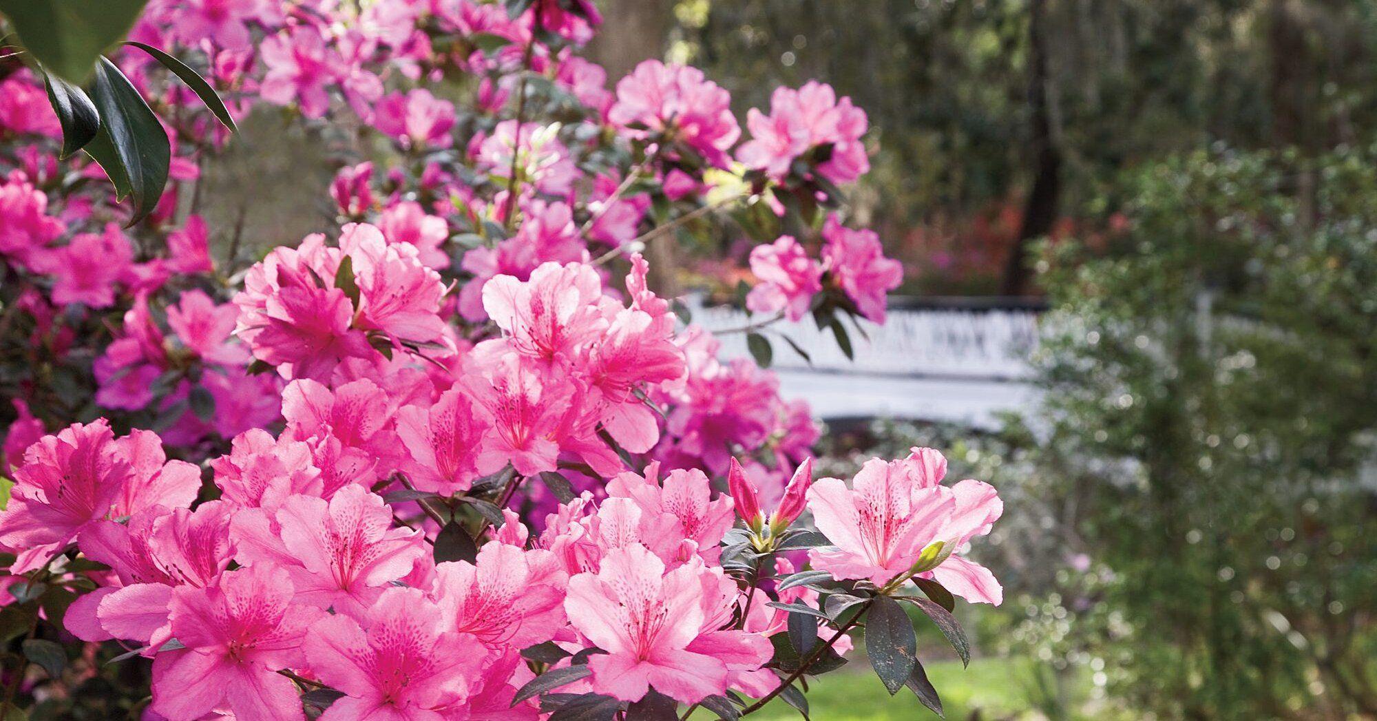 Azalea Planting Guide In 2020 Azaleas Landscaping Azaleas Garden Azaleas Care