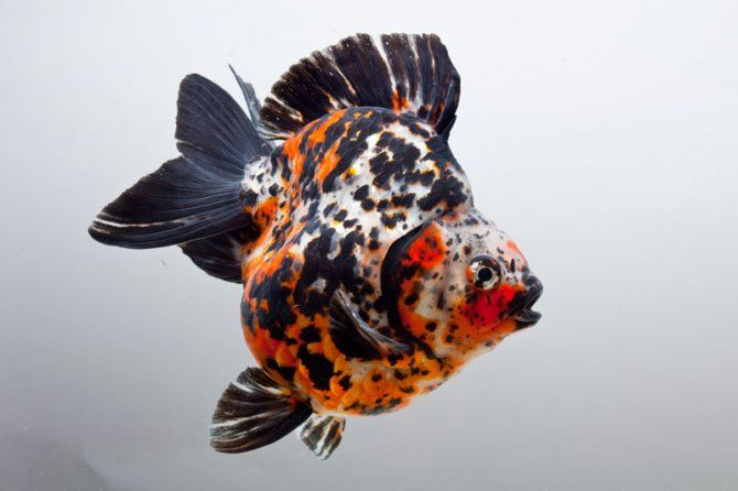 Fancy goldfish pictures star fisheries hold goldfish for Goldfisch und koi