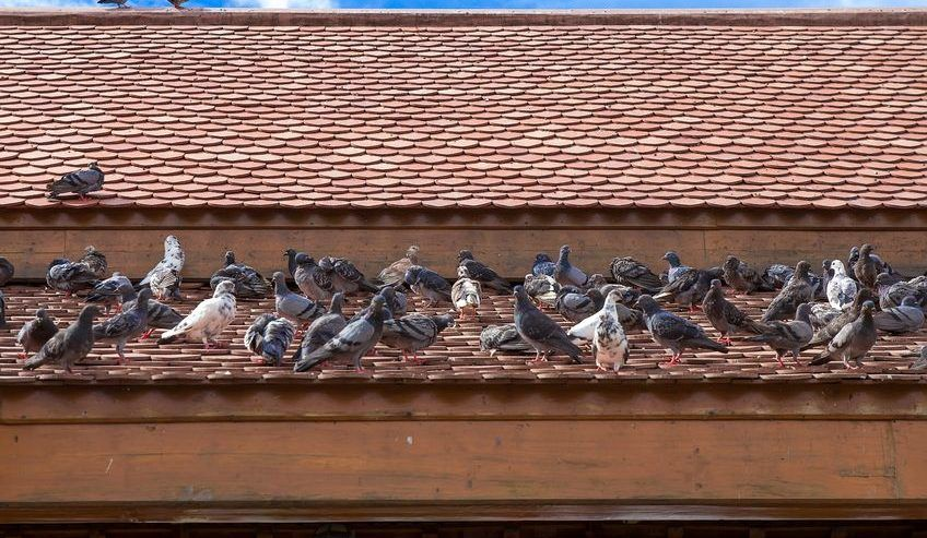 How to Get Rid of Pigeons on Your Roof It is summertime