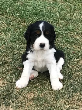 Litter Of 2 English Springer Spaniel Puppies For Sale In Byron