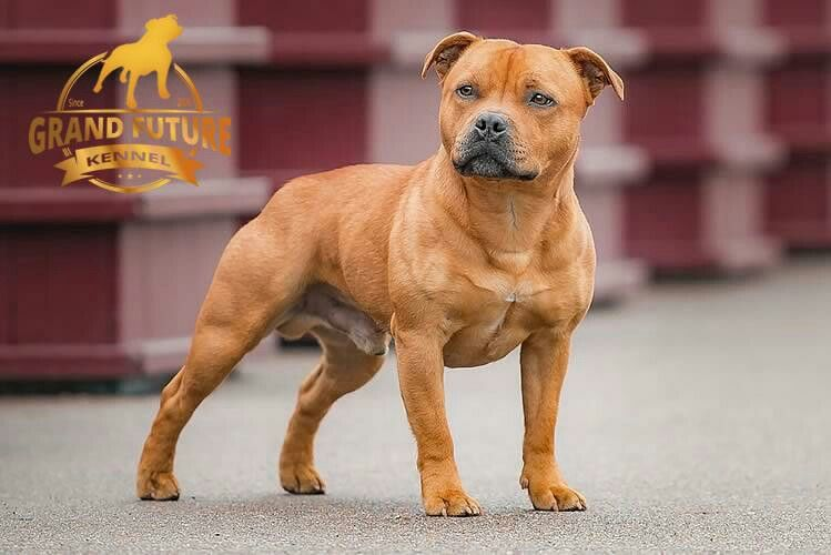 Great Standard Staffordshire Bull Terrier Staffy S The Best
