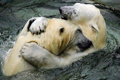 National Geographic Russia | Polar bear, Animals, Animals ...
