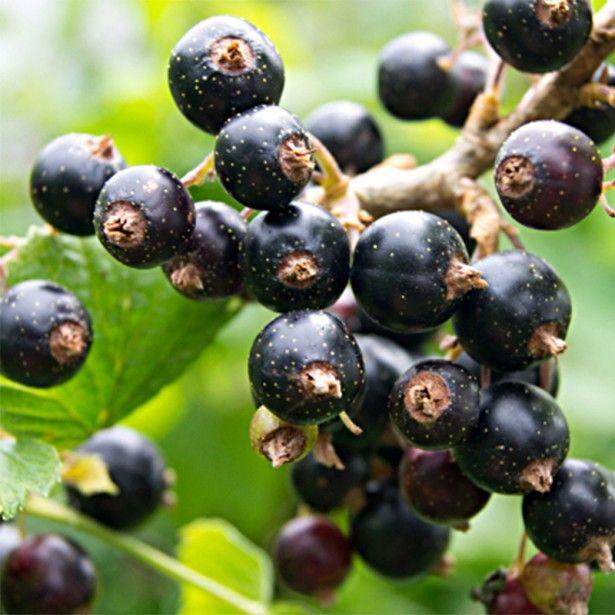 Cassissier Titania Ribes Nigrum Fruitier Fruits