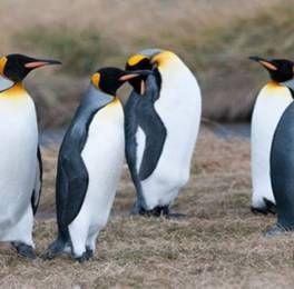 Pinguino Rey O Pájaro Bobo Pinguinos Animales En Peligro De Extincion En Peligro De Extincion