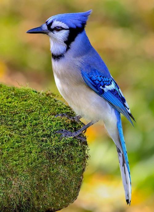 Blue Jay. Geai bleu. (Cyanocitta cristata).