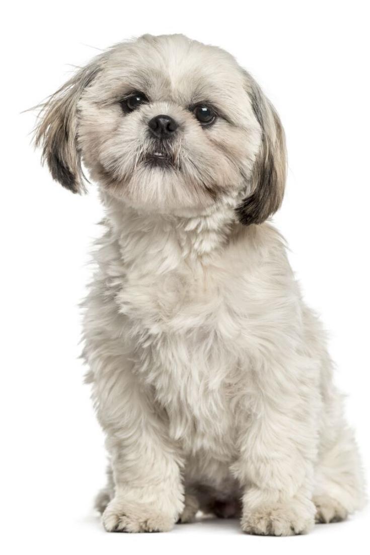 Shih Tzu Sitting Isolated On White Shihtzu Shih Tzu Pup Dogs