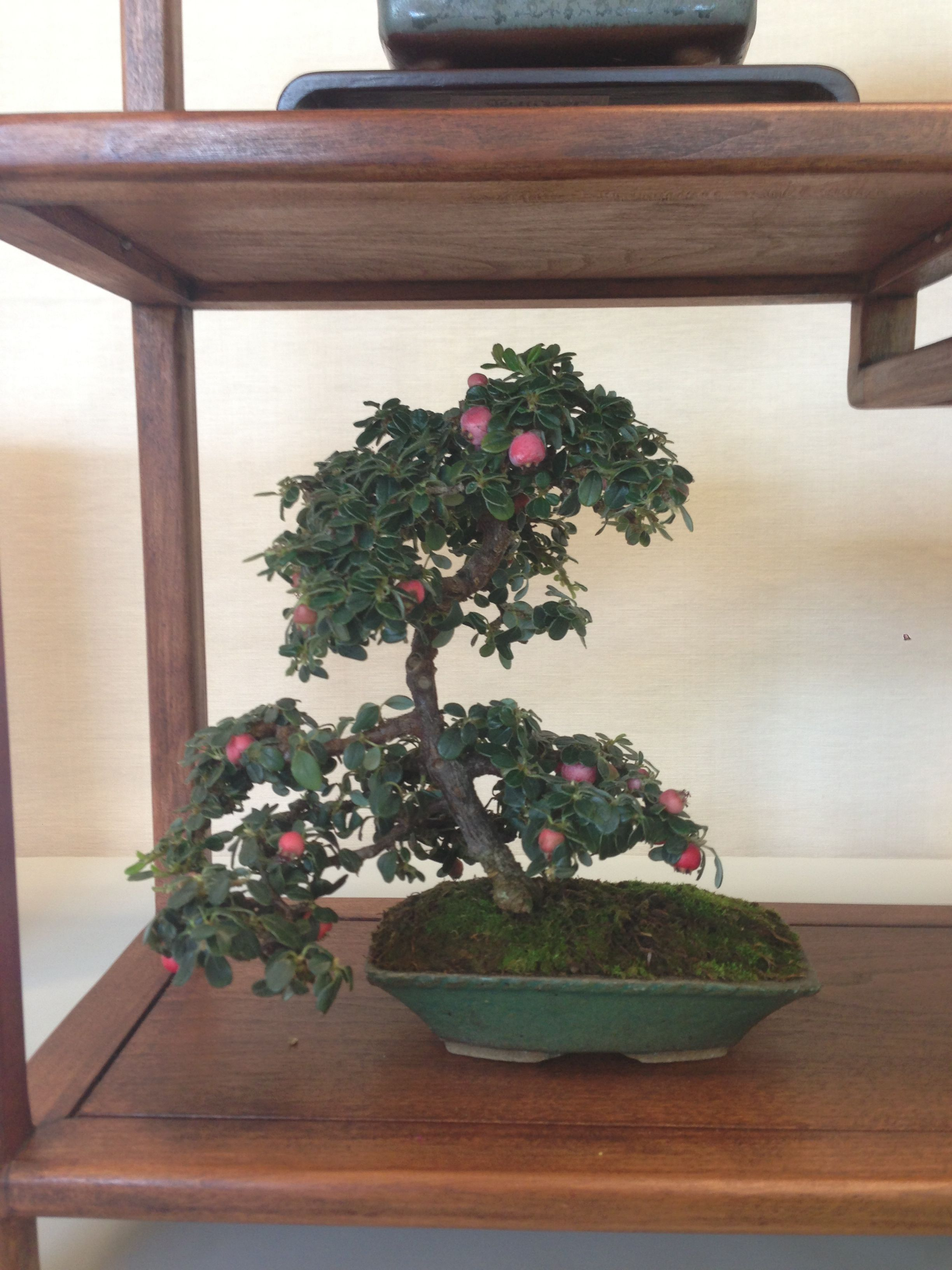 Cotoneaster Bonsai From The Ann Arbor Bonsai Society Show 2013 In Michigan 5 Year Old Cotoneaster Bonsai Bonsai Fruit Tree Bonsai Art