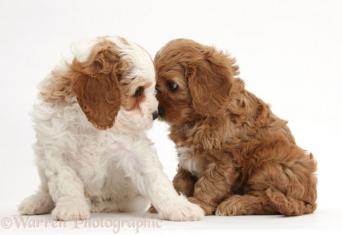 -and-white Cavapoo puppies, 5 weeks old, staring lovingly into each other's eyes. Warren Photograph