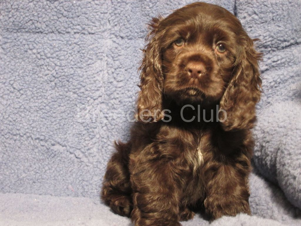 Chocolate Mini Cocker Spaniel I Have To Have One Of These Cocker Spaniel English Cocker Spaniel Dogs And Puppies