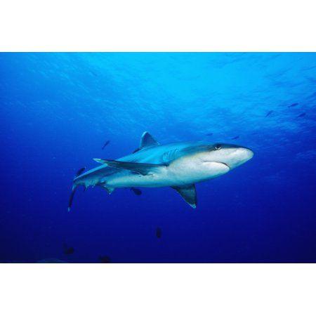 Thailand Silvertip Shark (Carcharhinus Albimarginatus) In Clear Blue Water Canvas Art - Dave Fleetham Design Pics (17 x 11)