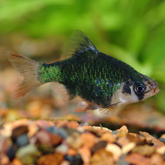 Tropical Fish For Freshwater Aquariums Green Tiger Barb Tropical Fish Fish Freshwater Aquarium