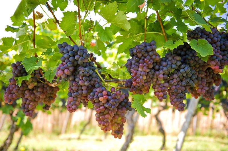 Pin By Ina Niday On Winery Grapes Grape Vines Vines