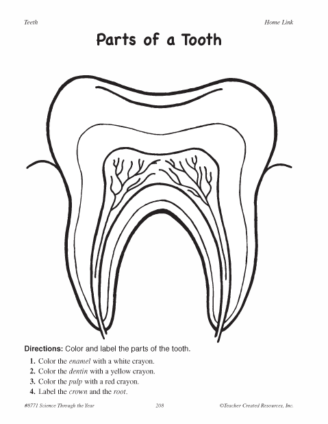 Parts Of A Tooth Worksheet