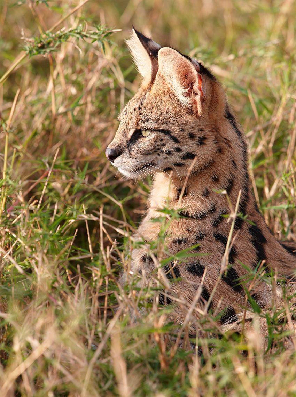 F3 Savannah Cats Pinterest F3 savannah cat, chats