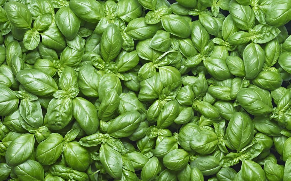 Fiori Bianchi Basilico.Basil Basilico In Italian Is One Of The Main Aromatic Herbs That