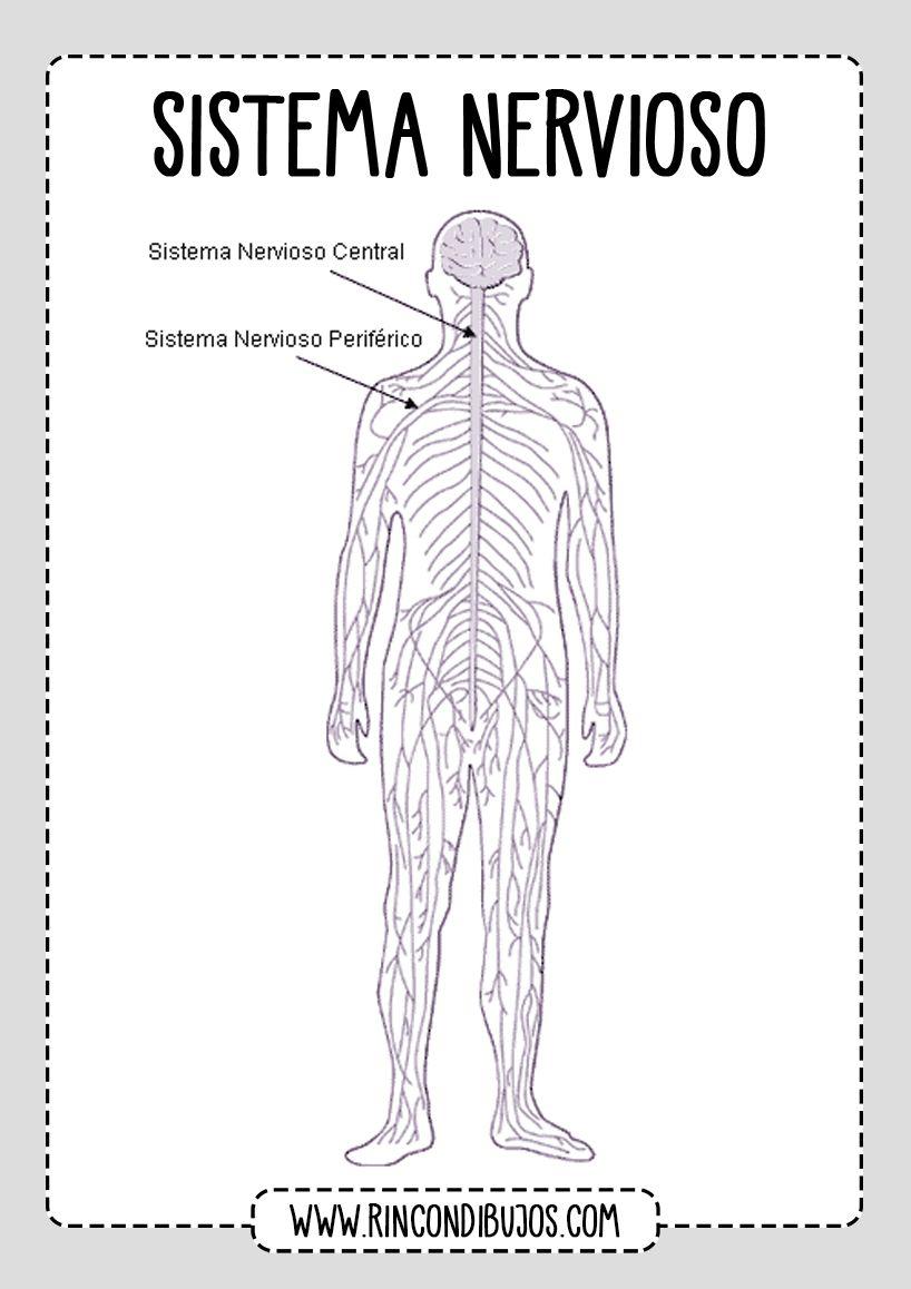 Partes Del Sistema Nervioso Fichas Explicativas En 2020 Sistema Nervioso Nervioso Sistema Nervioso Periferico