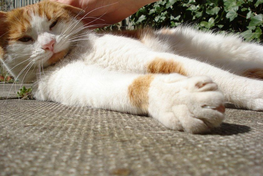 How much does it cost to declaw a cat