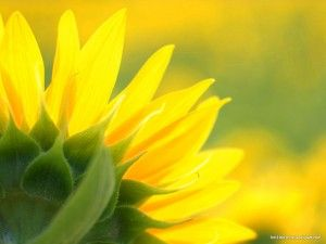 sunflower background | hd powerpoint templates | powerpoint, Modern powerpoint