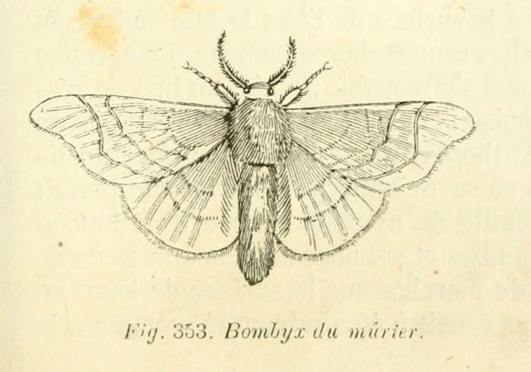 dessins scolaires zoologie - Dessins scolaires zoologie 491 bombyx du murier - Gravures, illustrations, dessins, images