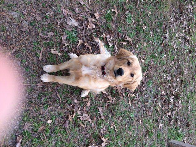 Golden Retriever Puppy For Sale In Garner Nc Adn 23057 On