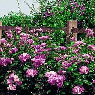 Purple Persuasion Hedge Rose This Hardy Produces Fragrant Lavender Flowers That Bloom From Spring Through