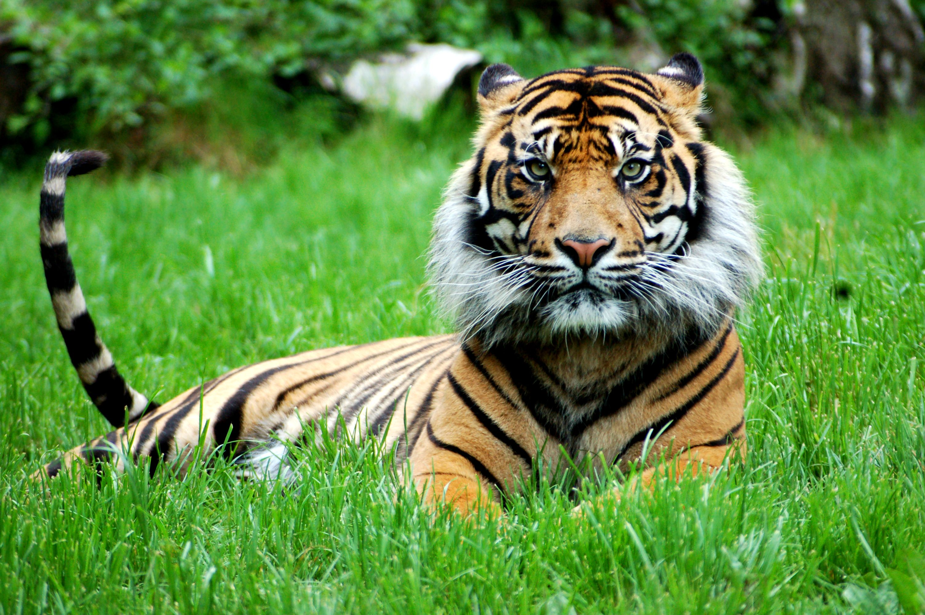 Sumatran tigers have the longest whiskers of all tigers u perfect
